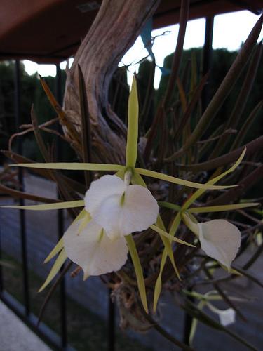 Brassavola Nodosa 171 Everything Orchids