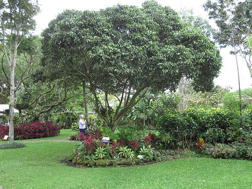 Hotel Bougainvillea Plant