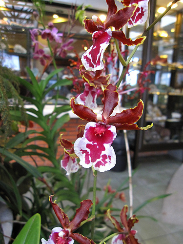 Oncidium Alliance Orchid