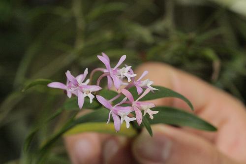 Monteverde Orchid - Oerstedella Orchid