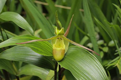 Monteverde Orchid - Phragmipedium longifolium