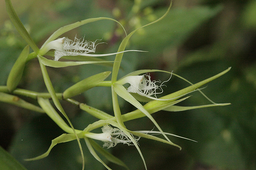 Monteverde Orchid - Encyclia Orchid