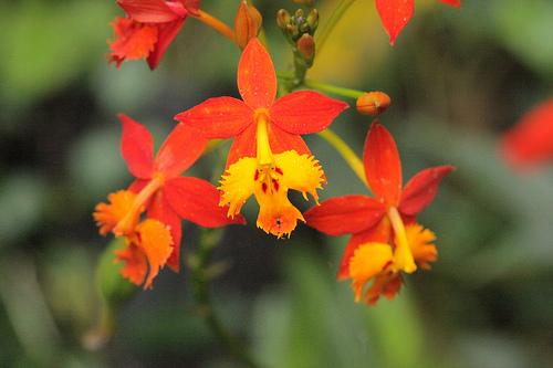 Monteverde Orchid - Epidendrum Radicans