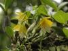 Monteverde Miniature Orchid - Oerstedella Wallisii