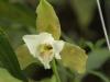 Monteverde Orchid - Lycaste Orchid