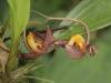 Monteverde Orchid - Gongora Orchid