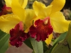 Monteverde Orchid Garden - Cattleya Hybrid Orchid