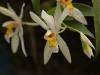 Monteverde Orchid - Coelogyne Orchid