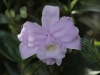Monteverde Orchid - Sobralia Orchid