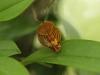 Monteverde Miniature Orchid - Acronia Sanchoi