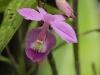 Monteverde Orchid - Barkeria Orchid