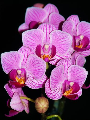 Doritaenopsis Sogo Vivien \'Sweet Heart\'