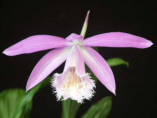 Pink Pleione formosa Orchid