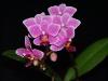 Phalaenopsis BeTris x Zuma Pixie