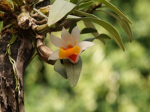 White Dendrobium Orchid - Dendrobium Bellatulum