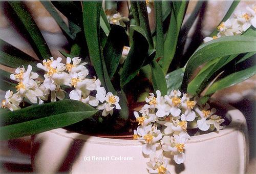 White Oncidium Orchid - Oncidium Twinkles