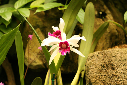 White Cattleya Orchid