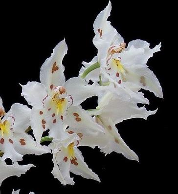 White Odontoglossum Orchid