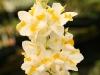 White Doritaenopsis Orchid