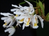White Coelogyne Orchid
