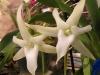 White Angraecum Orchid